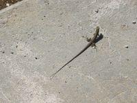 Curacao Lizard